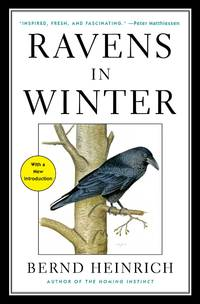 image of Ravens in Winter