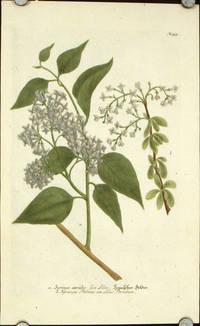 Syringa coerulea five Lilac