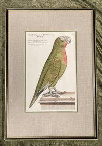 Bird Engraving. Hand-colored Parrot. Plate 46. Papagey. Psittacus viridis fronte albo et collo rubra