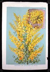 Genista or Shower of Gold