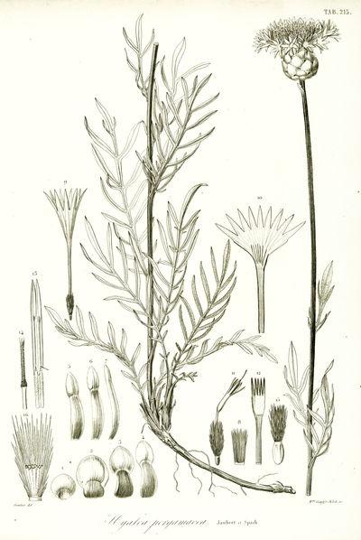 Illustrationes Plantarum Orientalium.