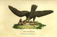 'Mountain Eagle'. Engraving