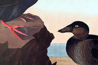 Black or Surf Duck. From The Birds of America (Amsterdam Edition)