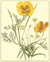 Plate 6. Eschscholtzia californica [California Poppy], Eschscholtzia crocea, Platystigma lineare