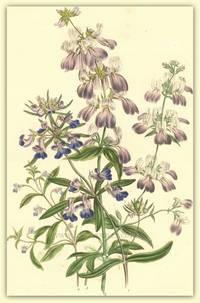 Plate 41. Collinsia grandiflora, Collinsia heterophylla, Collinsia bicolor, Collinsia parviflora