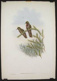 Rhamphomicron Olivaceum, Lawr