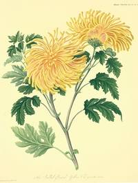 The Quilled-flamed yellow Chrysanthemum