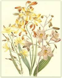 Plate 24. Wachendorfia paniculata, Wachendorfia brevifolia, Wachendorfia Herberti