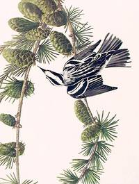 Black and White Creeper. From The Birds of America (Amsterdam Edition)