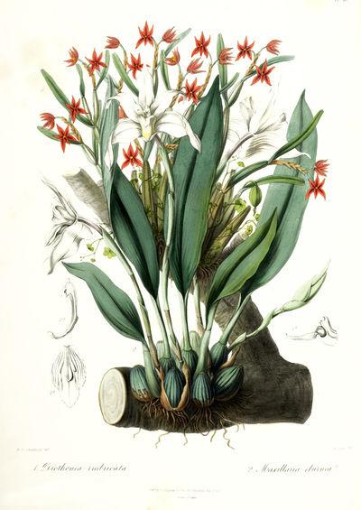 Sertum Orchidaceum: A Wreath of the...