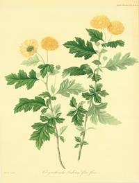 Chrysanthemum Indicum flore pleno