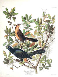 Boat-tailed Grackle. From The Birds of America (Amsterdam Edition)