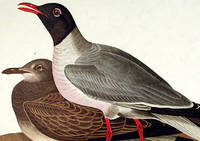 Black-headed Gull. From The Birds of America (Amsterdam Edition)