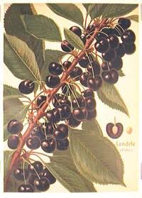 Landele (fruhe.). (Variety of cherry)