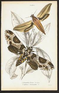 1. Metopsilus Tersa.  America  2. Sphinx Chionanthi.  Do