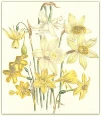 Plate 38. Narcissus Albicans, Narcissus Sabini, Narcissus conspicuus, Narcissus incomparabilis, Narcissus montanus, Narcissus cernuus, Narcissus Jonquillus, Narcissus gracilis.