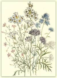 Plate 28. Gilia capitata [Clustered-flowered Gilia], Gillia capitata var. alba, Gillia Achilleafolia, Gillia tricolor, Gillia tricolor var. alba, Gillia tenuflora