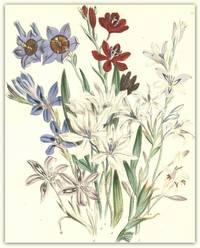 Plate 7 Barbiana tubiflora, Barbiana disticha, Barbiana sulphurea, Barbiana stricta, Barbiana rubro-cyanea, Barbiana villosa, Barbiana angustifolia, Barbiana spathacea