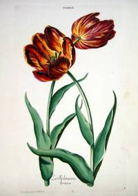 HORTUS NITIDISSIMIS ... : Tulip II; La Solitaire Brune (print)