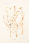 View Image 2 of 2 for Centaurea Cyanus Inventory #11927