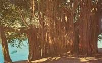 Banyan Tree on the Shore of Crescent Lake, Florida, unused Postcard