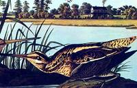 American Snipe. From The Birds of America (Amsterdam Edition)