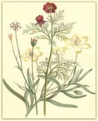 Plate 1. Platystemon leiocarpus, Garridella Nigellastrum, Adonis autumnus (Pheasant's Eye)