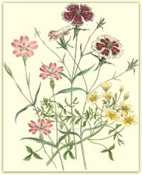 Plate 20. Dianthus chinensis [The Chinese Pink], Agrostemma coeli, Limnanthes Douglasii