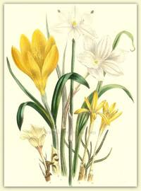 Plate 26. Sceptranthus Drummondii, Cooperia chlorosolen, Oporanthus lutea,  Sternbergia colchiciflora,  Haylockia pucilla