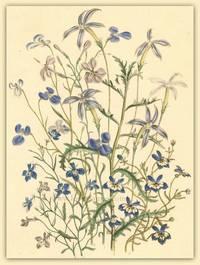 Plate 29. Clintonia pulchella, Isotoma axillaris, Lobelia hypocrateriformis, Lobelia ramosa, Lobelia gracilis, Lobelia gracilis var. rosea