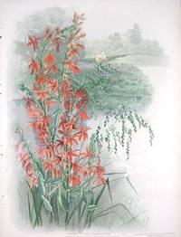 Cardinal Flower.  Lobelia cardinalis.  Rattlesnake Grass.  Panicularia Canadensis