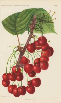 Mercer Cherry.