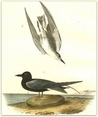Pl. 438 Black Tern (1. Adult 2. Young)