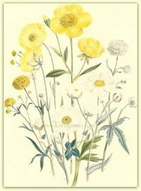 Plate 5. Ranunculus Monspeliacus, Ranunculus gramineus, Ranunculus ampleaicaulis, Ranunculus acris flore pleno, Ranunculus Aconitifolis, Ranunculus Parnassifolius [Buttercup]