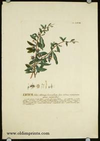 Lycium foliis oblongo-lanceolatis fine ordine, ramorum spinis rarioribus