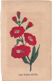 """An Original 1847 Handcolored Botanical Engraving """"Ten Week Stock"""""""