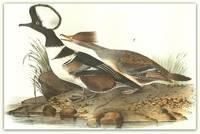 Pl. 413 Hooded Merganser (1. Male 2. Female)