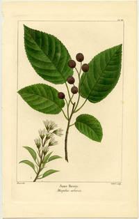 June Berry. Mespilus arborea