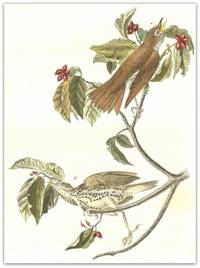 Pl. 144 Wood Thrush (Common Dogwood)