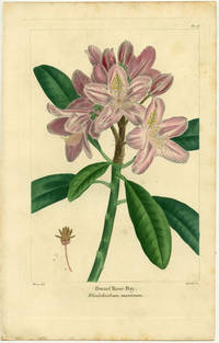 Dwarf Rose Bay.  Rhododendrum maximum