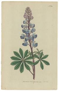 Lupinus Perennis. Perennial Lupine.