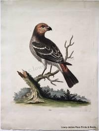 Pl 124. The Greatest Bulfinch-hen