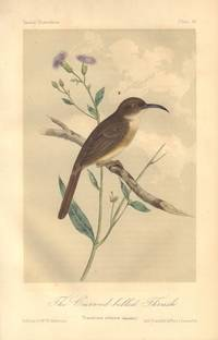 image of The Curved Billed Thrush: Toxostoma rediviva
