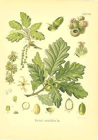 Quercus sessiliflora Sm
