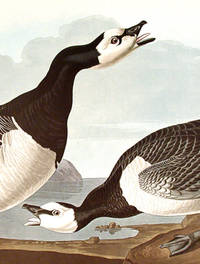 Barnacle Goose. From The Birds of America (Amsterdam Edition)