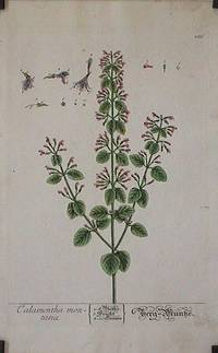 Calamentha montana (from A Curious Herbal).