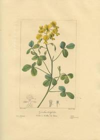 Goodia Cotifolia. Goodia a feuilles de lotier.