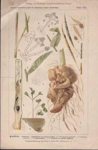 image of Beilage Zur Deutschen Landwirtschaftlichen Presse. Supplement to the  German Agricultural Presses Color Plate XIX Kruciferen