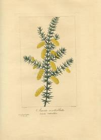 Acacia verticillata. Acacie verticillee.