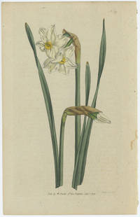 Narcissus Biflorus. Two-Flower'd Narcissus.